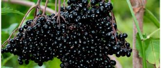 плоды чёрной бузины