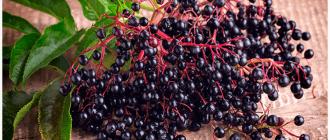 ягоды чёрной бузины