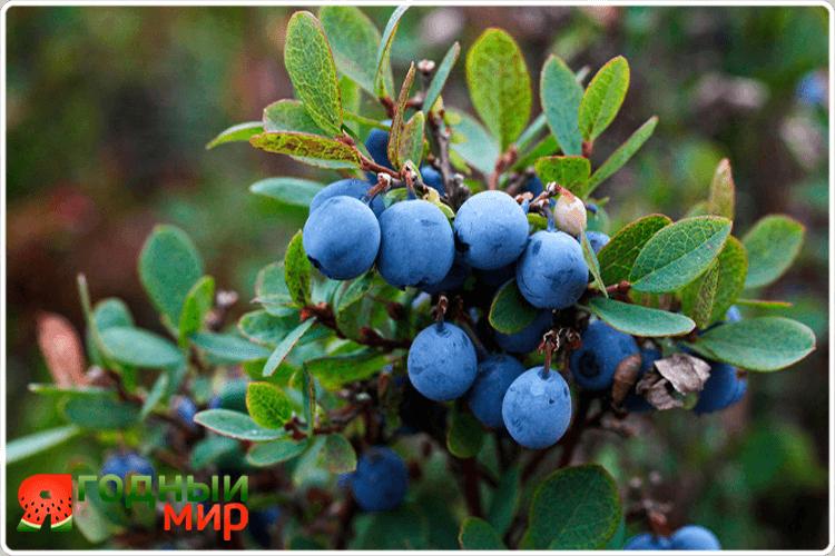 голубичные ягоды