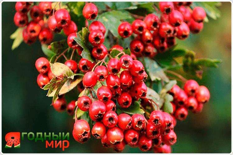 грозди ягоды