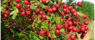 куст ягоды