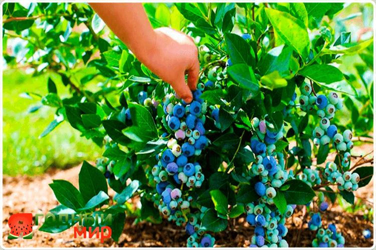 садовая голубика