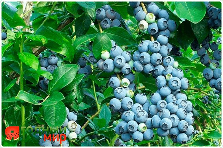 урожай ягоды